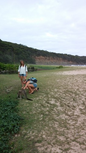 handzahme Kängurus am Pebbly Beach